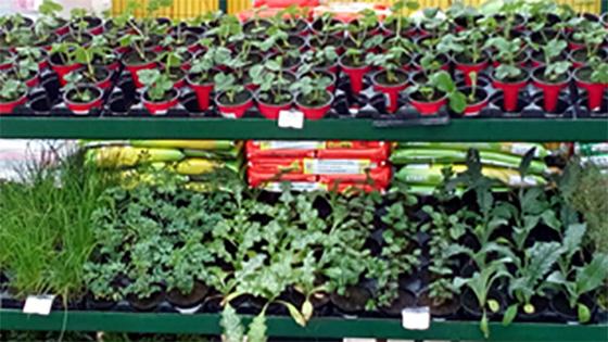 Velika izbira sadik zelenjave - kupci so še posebej veseli novosti